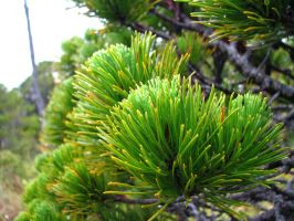 Shore Pine by KeyLogs