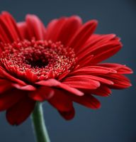Red... by AgataSwat