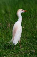 Cattle Egret by Katastrophey