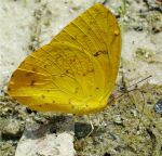 Yellow Butterfly by kiwiplum