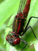 Large Red Damselfly by iriscup