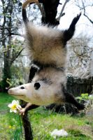 Opossum Mount 2 by Meddling-With-Nature