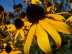 Brown-Eyed Susans by MuzikMaestro