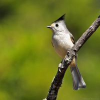 Black-crested Titmouse 8196 by robbobert