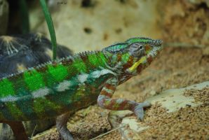 Chameleon by DscoverMyWorld