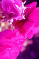 Twighlight Rose by Amy-Lou-Photography