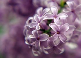 Lavender Dream by Woz1