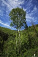 Triple Aspens by mjohanson