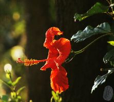 Hibiscus after rain by AfricanObserver