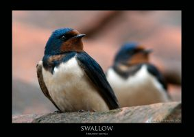 Swallow.1 by THEDOC4