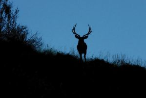 8-point mule deer by wildfotog