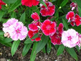 yes... more Dianthus by crazygardener