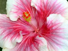 Hibiscus 5 by GreenMusic