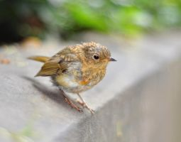 Baby Robin by RyanMichael