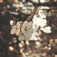Blossoms by FrancescaDelfino