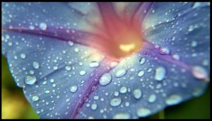 Morning glory in the rain by satanicfreak666888