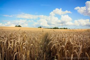 Wheat Fields by carlsilver