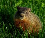 Groundhog by Abaksigan