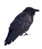 Scabby Old Crow PNG.. by WelshDragonStockNArt
