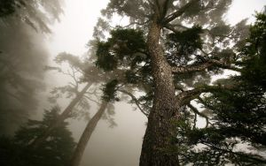 Beautiful pine by LinuxEvolution