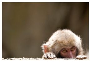 Japanese Macaque - 8008 by eight-eight