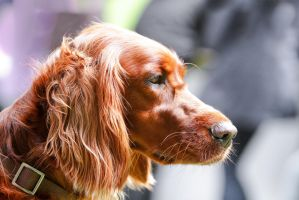 Irish Setter Sunshine Backlight by LuDa-Stock