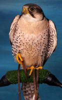 Lanner Falcon by skull-collector