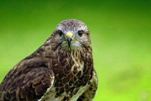 portrait of a buzzard by deoroller