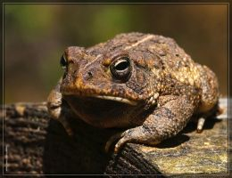Fowler's Toad 40D0038954 by Cristian-M