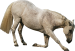 andalusian stock png by Nexu4