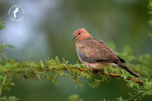 Dove by k-v-bhat
