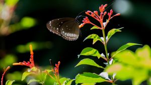 The common crow (Euploea core) butterfly.. by preethi524