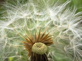 Dandelion by John-Peter