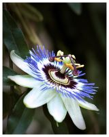 Passiflora 2 by blinka