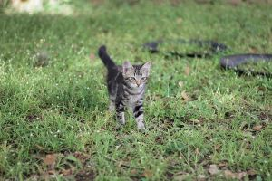 Cat out for a stroll by Caramanos2000