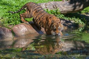 Drinking Tiger Cub by darkSoul4Life