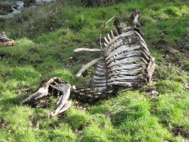 Dead Cow Skeleton by rachellafranchistock
