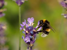 Bumblebee On Lavender by sandor99