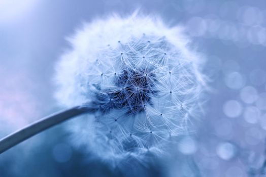 Taraxacum by Mars-Hill