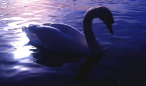 mute swan by k-facts