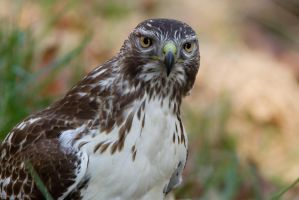 Red Tail Hawk 7 by bovey-photo