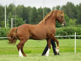 Welsh pony of Cob type stallio by wakedeadman
