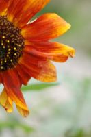 Sunflower 4 by JulieDing