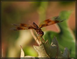Eastern Amberwing 40D0027175 by Cristian-M