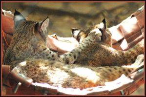 napping Bobcats by Cmac13