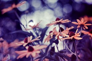 Black Eyed Susan by Spademm