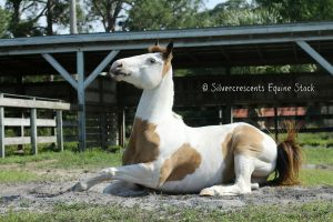 Paint Horse Stock 11 by SilverCrescents