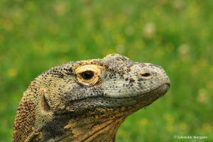 The Lizard King by MorganeS-Photographe
