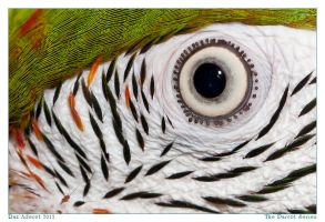 The Parrot Series IV by Aderet