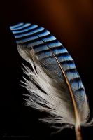 blue feather with black stripes by MatzeR